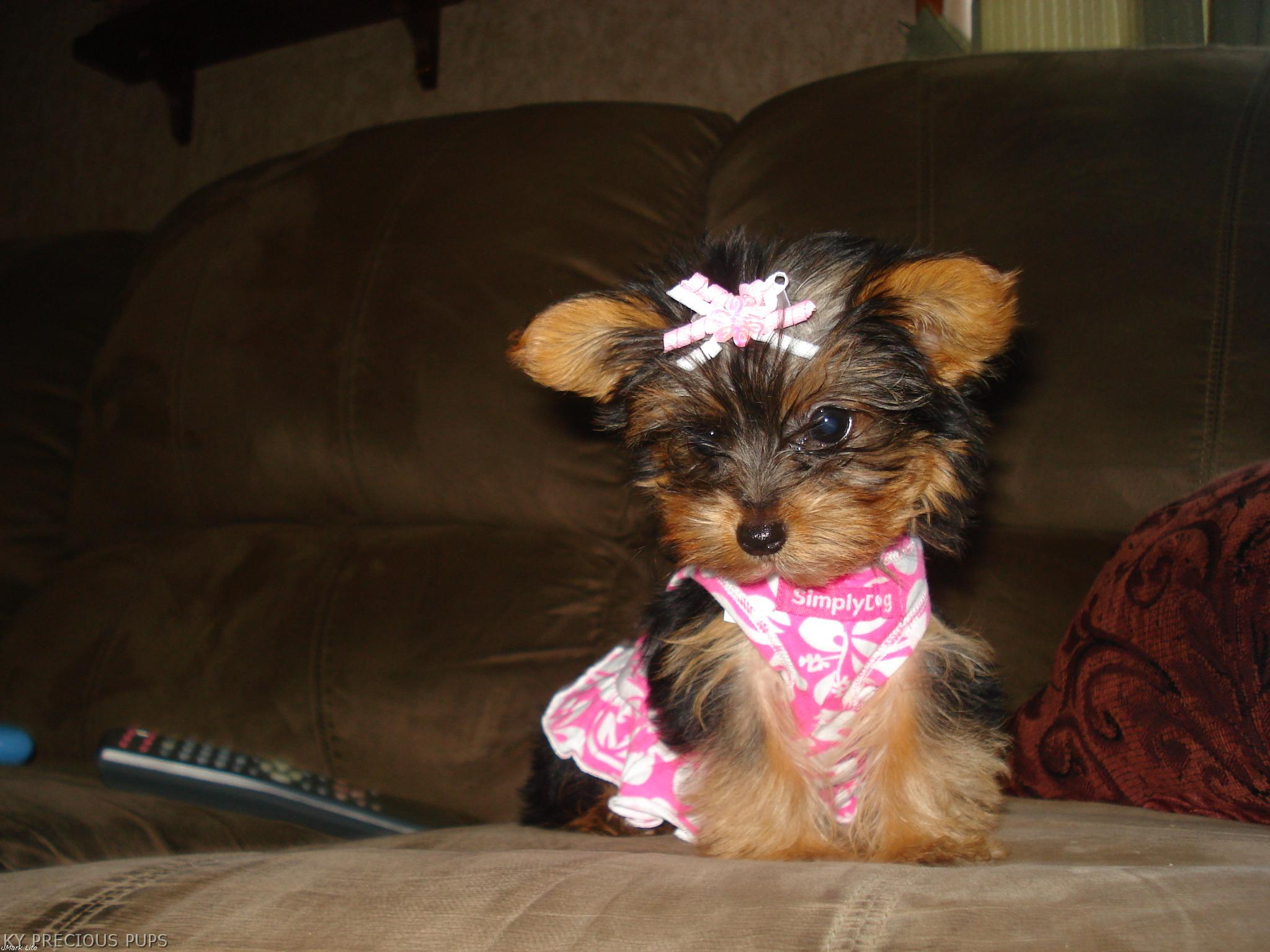 Yorkie Teacups In Paducah Ky   Dog Breeds Picture
